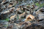 Caucasian goats Dombay Greater Caucasus mountains