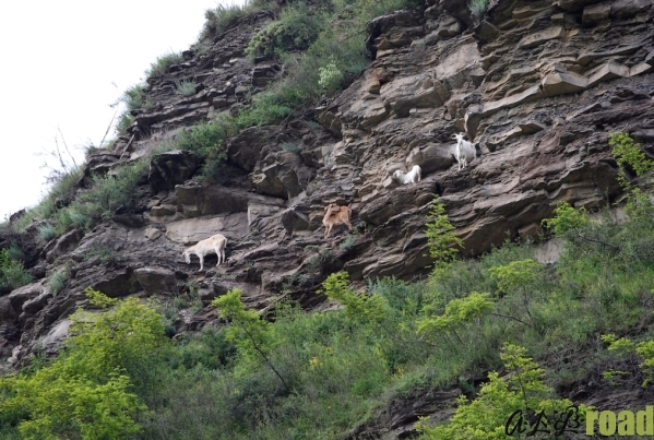Caucasian goats river Vedensky Chechnya mountains